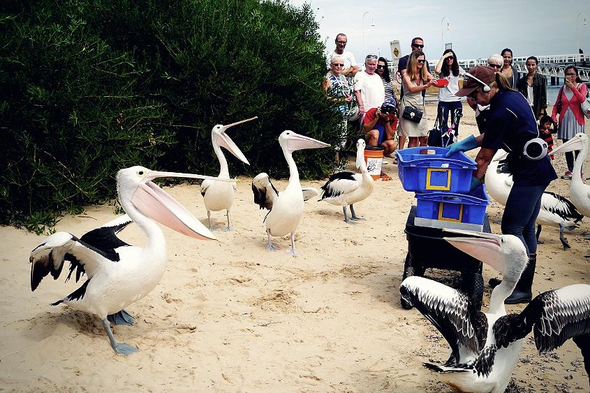 pelican australian wildlife
