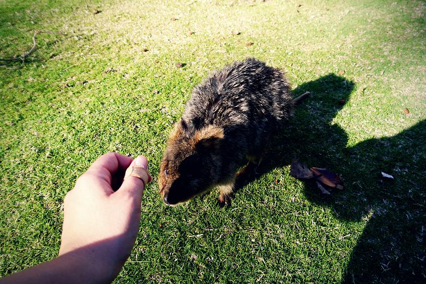 quokka australian wildlife