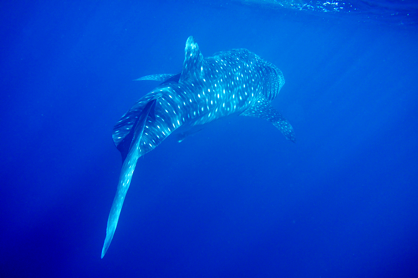 whaleshark australian wildlife