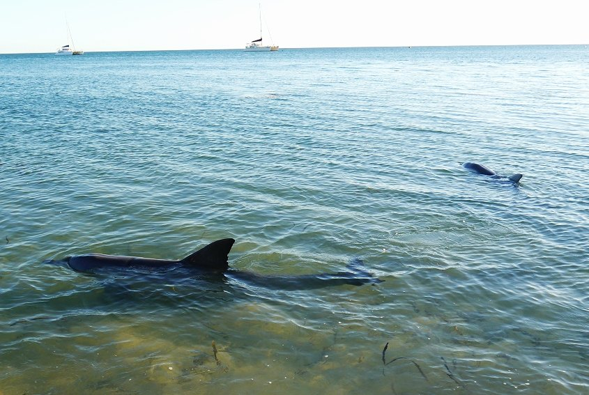 dolphin australian wildlife