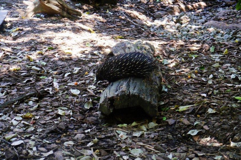echidna australian wildlife