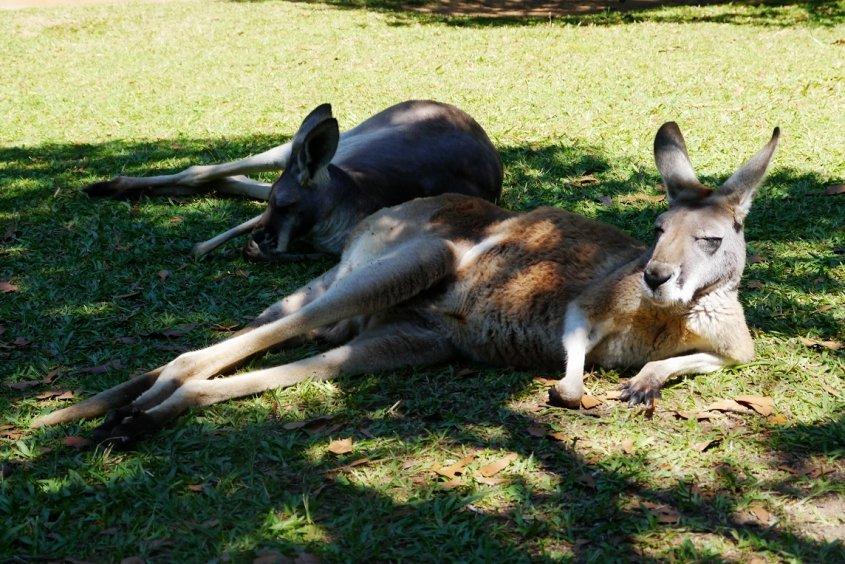 kangaroo australian wildlife