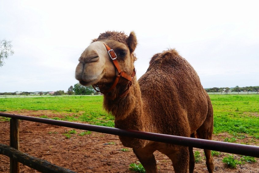 camel australian wildlife