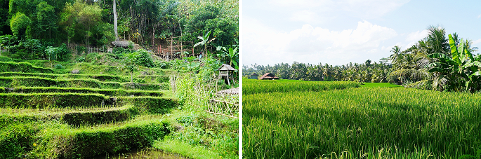 bucket list 2016 - ubud rice paddies