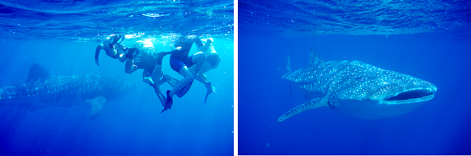bucket list 2016 - ningaloo whaleshark