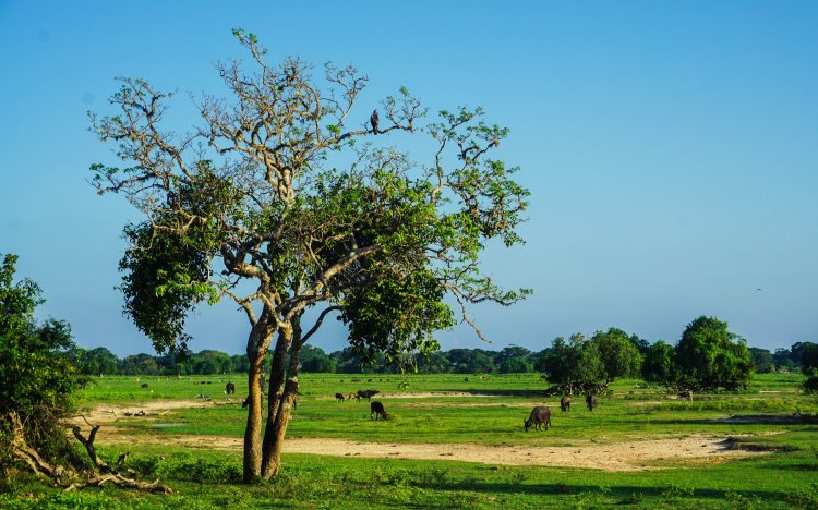 Image of an eagle sitting in a large tree in a national park in Sri Lanka