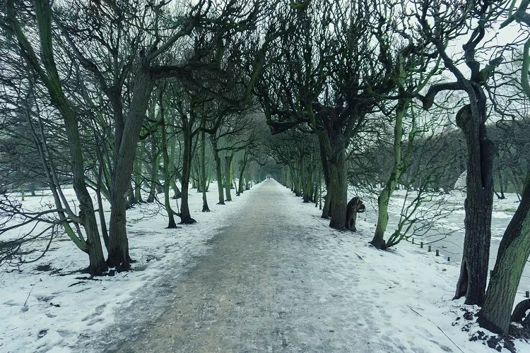 Image of snowy walkway in park lined with large dark trees creating tunnel effect