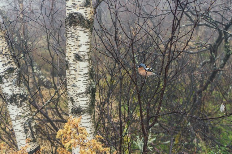 Image of tiny blue and brown bird sitting on twiggy tree in Norway