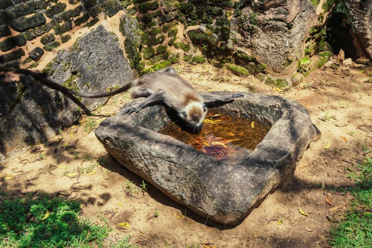 Image of a grey langur monkey drinking from a stone bowl at the ruins of Polonnaruwa Sri Lanka