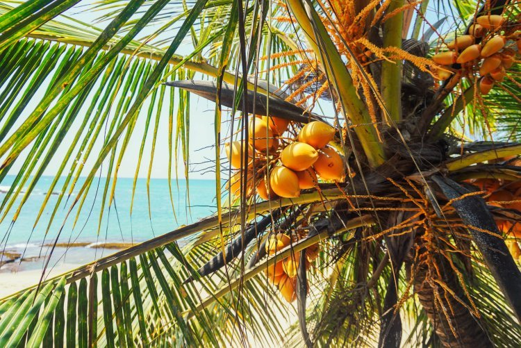 Image of king coconuts growing on palm tree in Sri Lanka